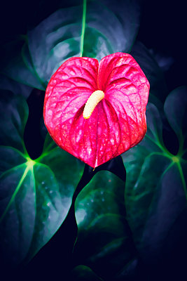 Flamingo flower - p1149m1574273 by Yvonne Röder