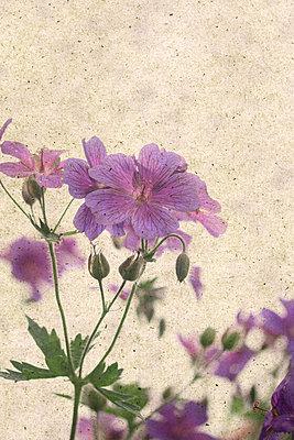 In voller Blüte    - p450m1452540 von Hanka Steidle