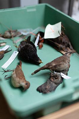 Vogelpräparate in einer Kiste - p795m2187229 von JanJasperKlein
