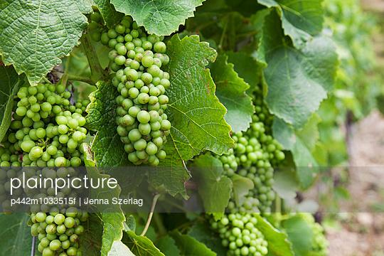 Green grapes; Manarola, Liguria, Italy - p442m1033515f by Jenna Szerlag