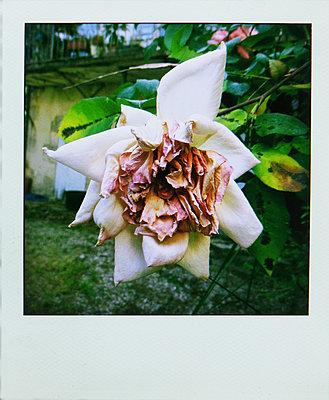 Verwelkte Rose - p1270m1105906 von Anne Veaute