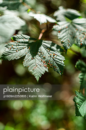 Maple leaf with gall mites - p1609m2253805 by Katrin Wolfmeier