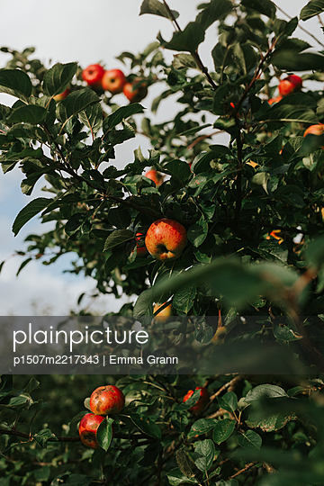 Apple tree with many branches - p1507m2217343 by Emma Grann
