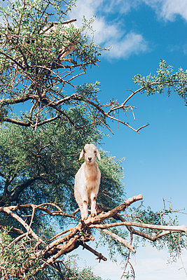 Goats in a tree - p1507m2043481 by Emma Grann