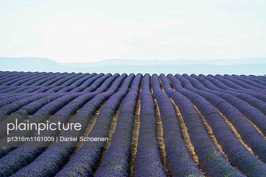 Lavendelfeld, bei Valensole, Plateau de Valensole, Alpes-de-Haute-Provence, Provence, Frankreich - p1316m1161009 von Daniel Schoenen