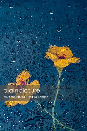 Flowers behind wet window - p971m2288213 by Reilika Landen