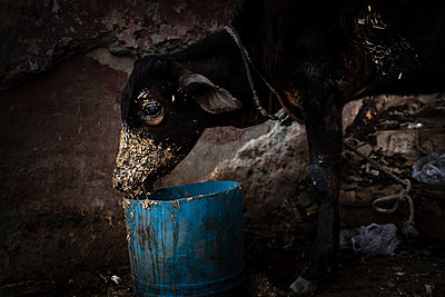 Calf eating oat in a bucket - p1007m2099040 by Tilby Vattard