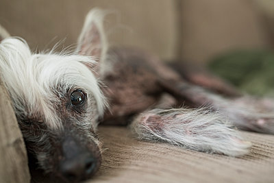 Close up portrait Chinese Crested dog laying sofa - p1192m1078254f by Hero Images