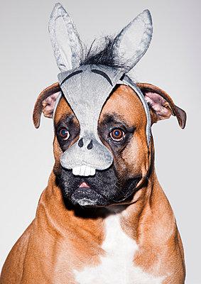 Boxer mit Maske - p930m814785 von Phillip Gätz