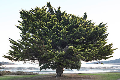 New Zealand, Large tree by the ocean  - p1612m2223647 by Heidi Coppock-Beard