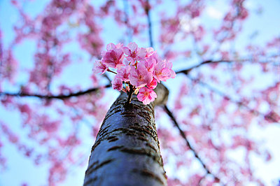 Cherry blossoms - p307m803398f by Masahiro Tsurugi/Aflo