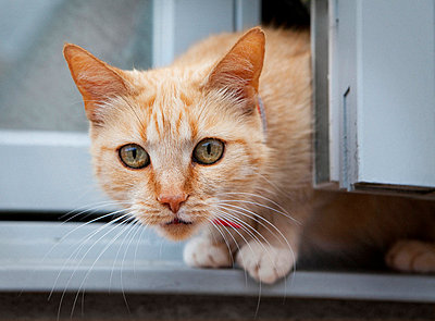 Cat in Open Window - p6944631 by Noll Images