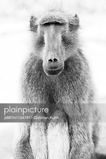 Pavian - p887m1124781 von Christian Kuhn
