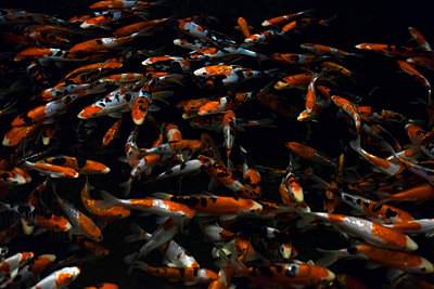 Shoal of Japanese Koi carps - p1180m1017230 by chillagano