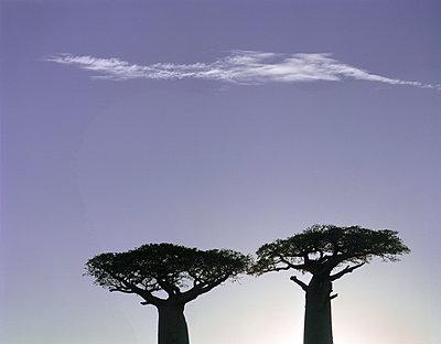 Baobabs auf Madagaskar - p1016m792564 von Jochen Knobloch