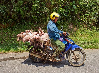 Mopedfahrer transportiert tote Schweine - p390m1477119 von Frank Herfort