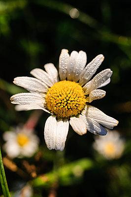 Chamomile flower  close-up - p1412m1588951 by Svetlana Shemeleva