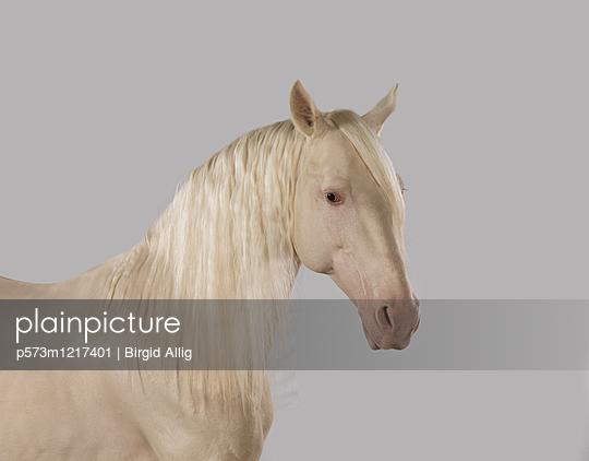 Pferdeportrait - p573m1217401 von Birgid Allig