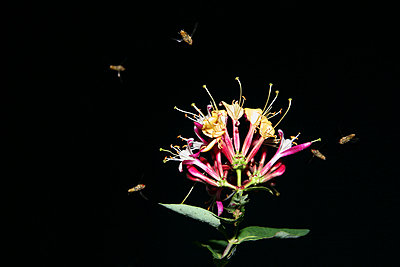 Honeysuckle at night - p165m853613 by Andrea Schoenrock