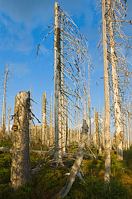 Germany, Bavarian Forest, Forest dieback by bark-beetles - p3007008f by Fotofeeling
