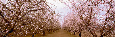 Agriculture, Almond orchard in bloom in late winter, Fresno County, San Joaquin Valley, California, USA. - p442m936597f by Charles Blakeslee