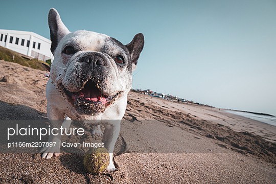 French bulldog playing with her ball in the beach - p1166m2207897 by Cavan Images