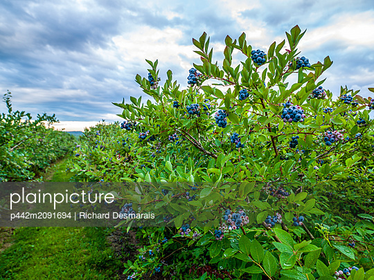 Blueberries ripening on bushes; Nova Scotia, Canada - p442m2091694 by Richard Desmarais
