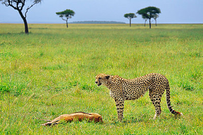 Cheetah on gazelle kill, Acinonyx jubatus, Masai Mara Reserve, Kenya - p1100m875458 by Frans Lanting