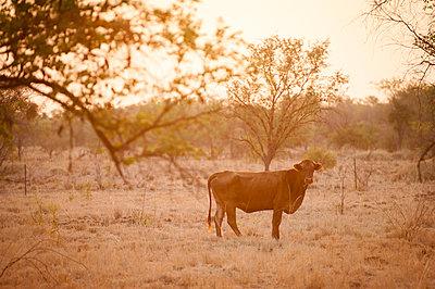 Kuh in Abenddämmerung - p1273m1110964 von Melanka Helms