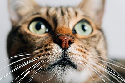 Portrait of tabby cat, close-up - p300m1206129 by Gemma Ferrando