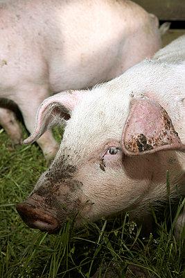 Glückliche Schweine - p4060378 von clack