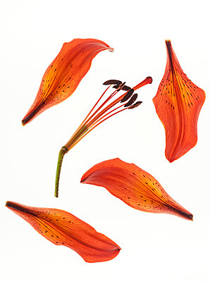 Broken lily flower - p971m1462958 by Reilika Landen