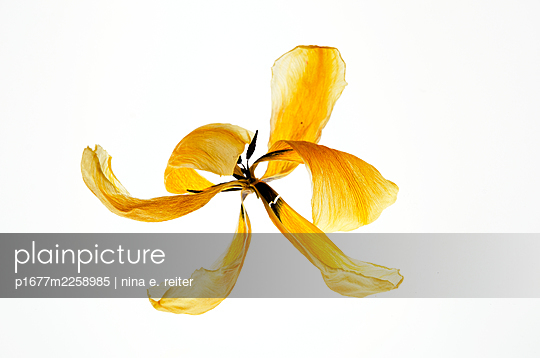 Yellow blossom of Easter tulip against white background - p1677m2258985 by nina e. reiter