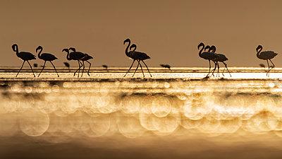 A flock of flamingos in Lake Natron at sunrise, Tanzania - p651m2152384 by Marco Gaiotti