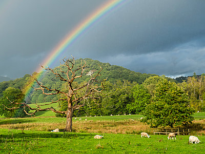Great Britain, England, Lake District National Park, Dead tree, rainbow and sheep - p300m1537266 by Stefan Schurr