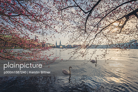 Germany, Hamburg, Germany, Hamburg, blossoming cherry tree at Binnenalster, swimming mute swans - p300m1587240 by Kerstin Bittner