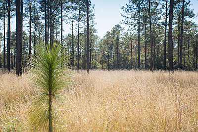 United States, North Carolina, Hampstead, Holly Shelter Game Lands, Longleaf Pine seedling growing in forest - p1427m2271683 by Chris Hackett
