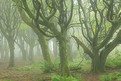 Misty conditions in a deciduous woodland in spring, Cornwall, England, United Kingdom - p871m2143264 by Adam Burton