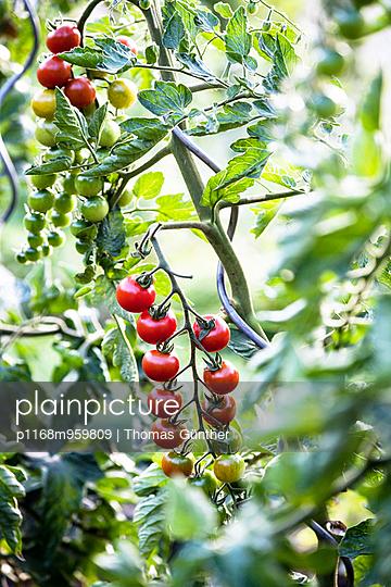 Tomaten - p1168m959809 von Thomas Günther