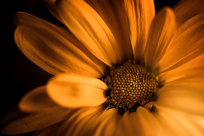 Closeup image of a yellow flower - p1166m2113136 by Cavan Images