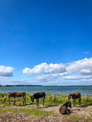 Donkey at the Baltic coast - p382m2283993 by Anna Matzen