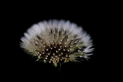 Pusteblume - p4451007 von Marie Docher