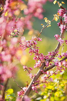 Redbud tree branches in full bloom - p624m710871f by Odilon Dimier