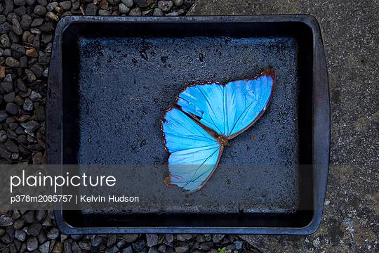 Blue Butterfly - p378m2085757 by Kelvin Hudson