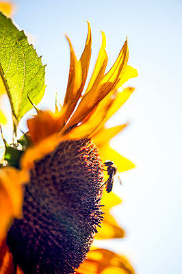 Close-up of sunflower with wasp feeding pollinating - p1047m2263577 by Sally Mundy