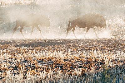 Gnus im Gegenlicht, Kalahari, Afrika - p1065m982581 von KNSY Bande