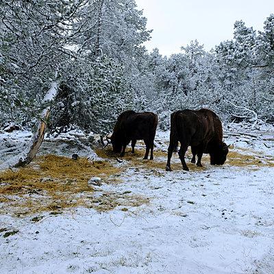Two bisons - p1105m2134526 by Virginie Plauchut