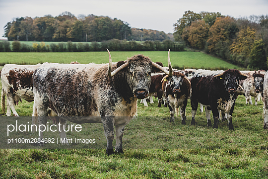 Herd of English Longhorn cows standing on a pasture. - p1100m2084692 by Mint Images