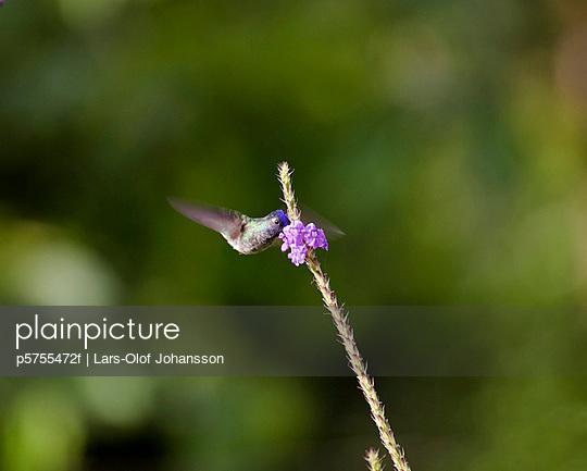 humming-bird on a flower, Costa Rica.