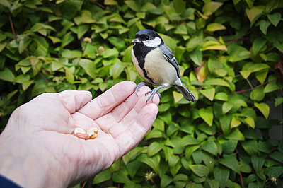Small bird eating nuts - p312m1063693f by Caluvafoto